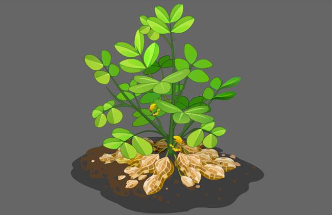 flash花生植物生长动画素材