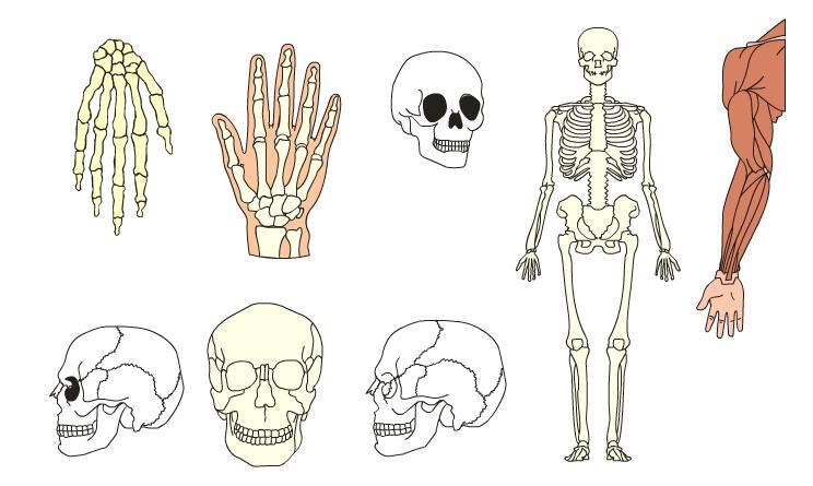 结构头骨手关节肌肉结构图flash动画素材   头骨结构 人体骨架   手臂