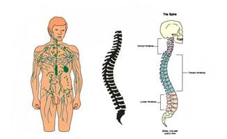 背部身体结构_人体上半身各个穴位及背部骨胳结构图设计素材_漫品_MG动画