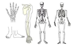 flash动画人体结构骨胳肌肉