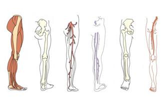 人体腿部肌肉血管骨胳结