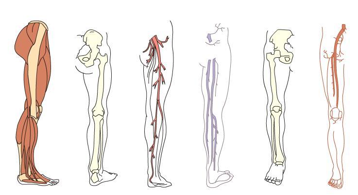 人体腿部肌肉血管骨胳结构示意图flash素材下载