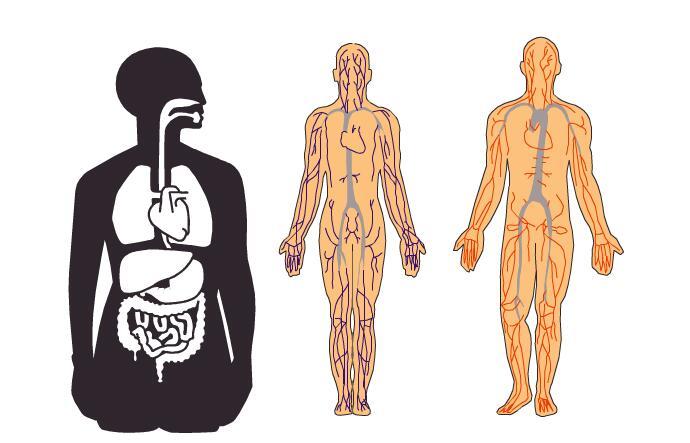 人体构成结构示意图_人体血管分布结构示意图设计flash医学课件素材