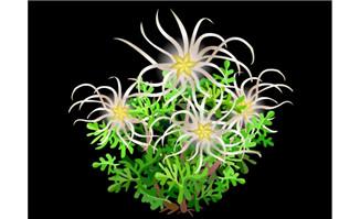 芹叶铁线莲花卉草本植物