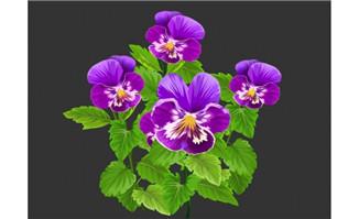 草本植物花卉三色堇花朵