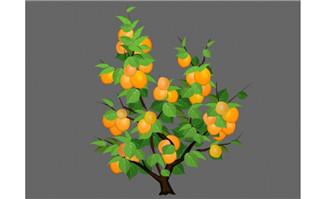 金色成熟的杏子树植物矢