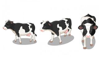奶牛正面侧面走路的动作