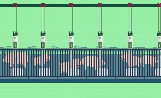 智能养猪更安全养猪场动画视频模板